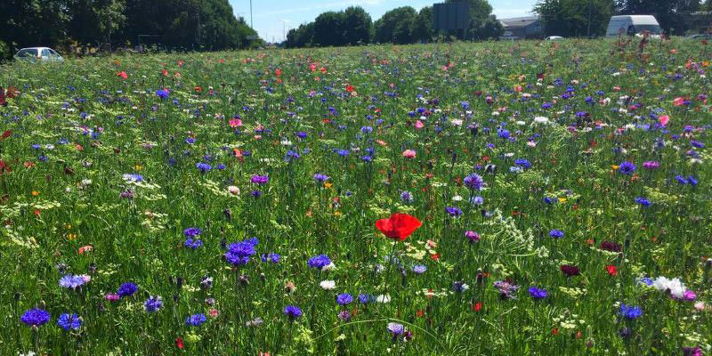 Cidade Inglesa Substitui Relva Por Flores Silvestres Nas Bermas Das Estradas