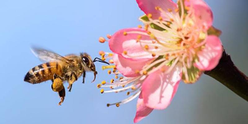 Abelhas Desenvolvem Dependência Química De Agrotóxico (como Fumantes)
